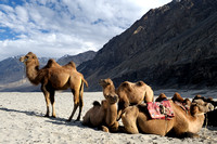 Bactrian Camels, Nubra Valley