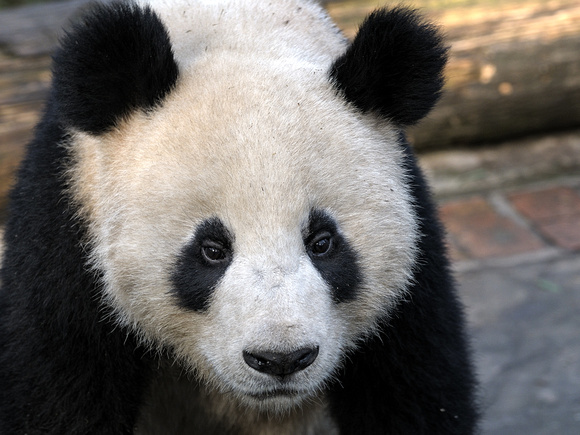 Giant Panda Habitat Destruction