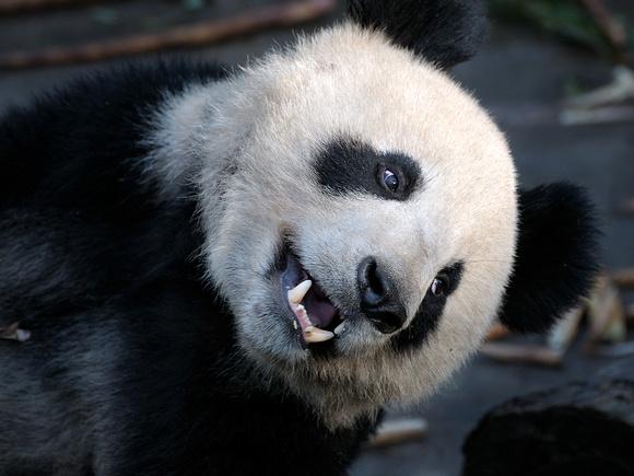 Go Back > Gallery For > Panda Teeth